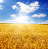 Field of ears and sun sky Stock Photo