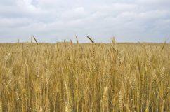 Field ears wheat crop bread Royalty Free Stock Photo