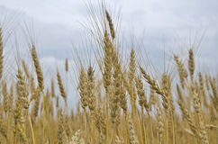 Field ears wheat crop bread cereals Stock Photo