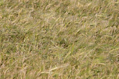 Field with ears of wheat swaying Stock Image