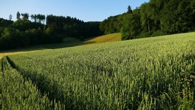 Field, Ecosystem, Crop, Grass Family royalty free stock photography