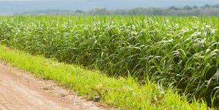 Field edge. Close-up along the corn field edge after rain Stock Image