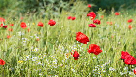 Field edge with blossoming poppies and camomile. Field edge with red blossoming and overblown poppies, white and yellow blooming camomile plants and other Royalty Free Stock Images