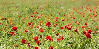 Field edge with blossoming poppies and camomile. Field edge with red blossoming poppies, white and yellow blooming camomile plants and other wildflowers Royalty Free Stock Photography