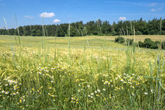 Field edge in summer Royalty Free Stock Images