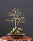 Field elm bonsai stock photo