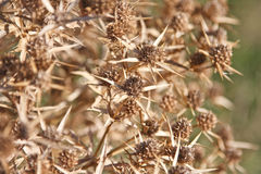 Field eryngo Royalty Free Stock Photo