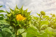 A field of even rows of sunflower plants, protected from pests, weeds, and diseases, insecticides, herbicides and fungicides, unde. R the warm rays of the summer stock photo
