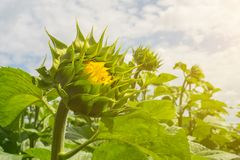 A field of even rows of sunflower plants, protected from pests, weeds, and diseases, insecticides, herbicides and fungicides, unde. R the warm rays of the summer royalty free stock image