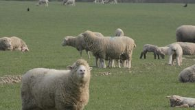 Flock of sheep with lambs. stock video footage