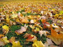 Field of Fall Leaves. Field of colorful fall leaves in Ann Arbor, Michigan Royalty Free Stock Images