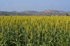 Field of Jowar Crop or Sorghum. Field or farm of Jowar Crop or Sorghum stock photos