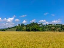 Field farm rice. Field rice gold royalty free stock image