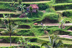 Field and farmer in Bali Royalty Free Stock Images
