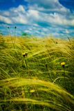 Field with feather grass and yellow flowers. Field with feather grass and rare yellow flowers under the blue June sky on a sunny day royalty free stock photography