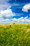 Field with feather grass and yellow flowers. Field with feather grass and rare yellow flowers under the blue June sky on a sunny day royalty free stock photos