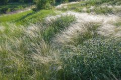 Field of feather grass under the blue sky Stock Photo