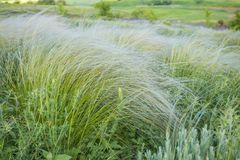 Field of feather grass under the blue sky Stock Images