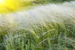 Field of feather grass under the blue sky Royalty Free Stock Image