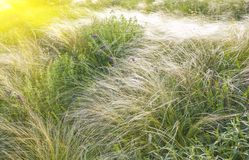 Field of feather grass under the blue sky Royalty Free Stock Images