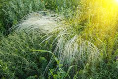 Field of feather grass under the blue sky Royalty Free Stock Photography