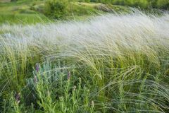 Field of feather grass under the blue sky Royalty Free Stock Photos