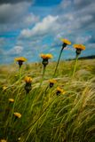 Field with feather grass and yellow flowers. Against a blue sky with clouds stock image