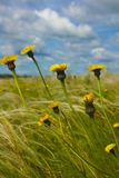 Field with feather grass and yellow flowers against a blue sky with clouds. June stock photo