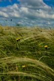 Field with feather grass and yellow flowers. Against a blue sky with clouds stock images