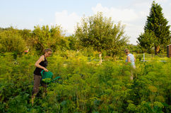 Field of fennel. Two women water the field of fennel Stock Photography