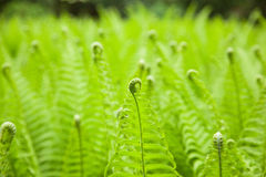 Field of ferns Stock Photo