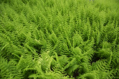 Field of Ferns Royalty Free Stock Photo