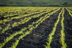 A field of fertile green crops. On rich dark soil in Mexico royalty free stock images
