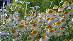 Field field of daisies. Camera movement with a single flower at the bottom and at the top where you can see the whole stock video footage