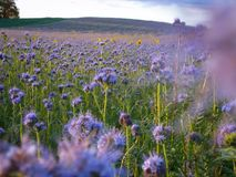 Field of field thistles. In autumn sunlight royalty free stock photo