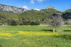 field fig trees on the island of Mallorca Royalty Free Stock Photos