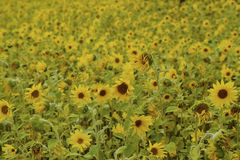Field filled with blooming sunflowers. On a spring day Royalty Free Stock Photography