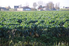 Field filled with brussels sprouts plant in the sun waiting to grow in Zevenhuizen the Netherlands. Field filled with brussels sprouts plant in the sun waiting stock image