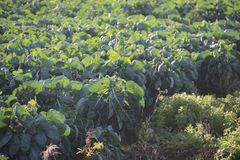 Field filled with brussels sprouts plant in the sun waiting to grow in Zevenhuizen the Netherlands. Field filled with brussels sprouts plant in the sun waiting stock photography
