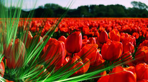 Field filled with passion. Cross process reproduction showing a tulip field Stock Photography