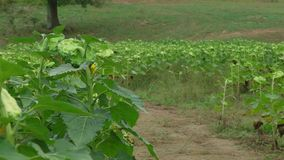 Finished sunflowers in a field. Field of finished sunflowers ready to be harvest drooping seed heads still on the stalks of the plants with trees on a hill in stock video footage