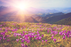 Field of first blooming spring flowers crocus as soon as snow descends on the background of mountains in sunlight. Filtered image:cross processed vintage Stock Photography