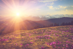 Field of first blooming spring flowers crocus as soon as snow descends on the background of mountains in sunlight. Royalty Free Stock Photos