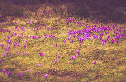 Field of first blooming spring flowers crocus in mountains. stock image