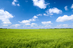 Field of flax Royalty Free Stock Photo