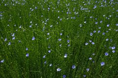 Field of flax Royalty Free Stock Images