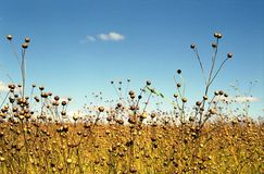 Field of flax. Russia. Royalty Free Stock Photos