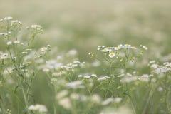 Field of Daisy Fleabane Stock Image