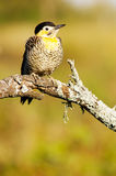 Field Flicker. (Colaptes campestris) in a branch royalty free stock photo