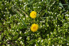 Field florets in a high grass. Dandelions andely field florets in the high green to grass Royalty Free Stock Images